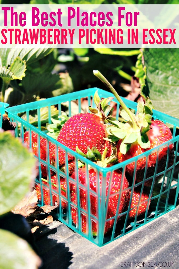 strawberry picking Essex Southend Colchester Chelmsford