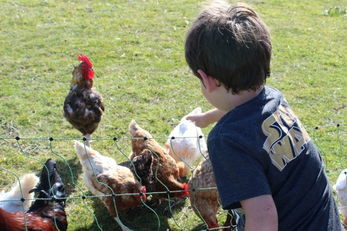 camping perranporth chickens